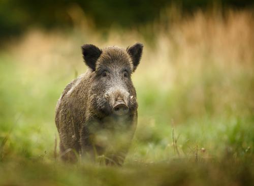 イノシシ 猪 寿命