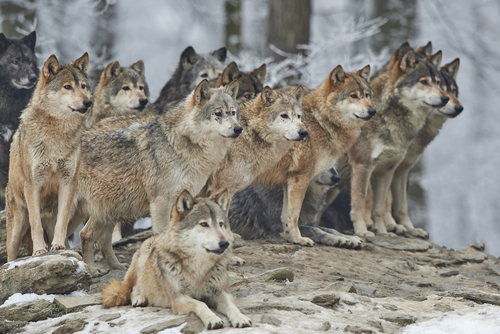 オオカミ 寿命