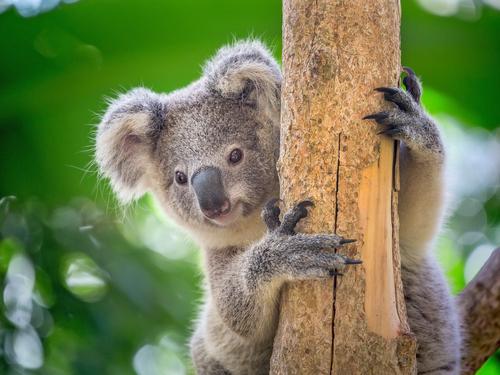 コアラ 寿命