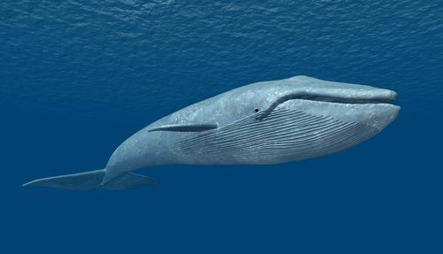 シロナガスクジラ 寿命