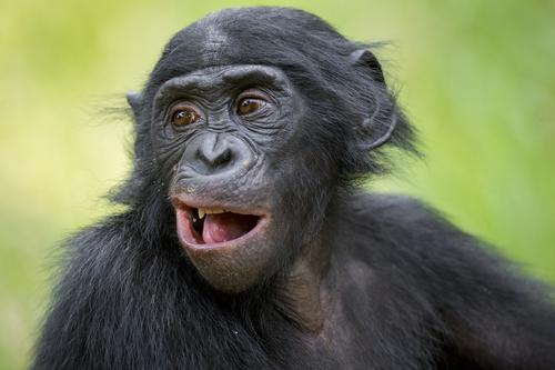 チンパンジーと遺伝子