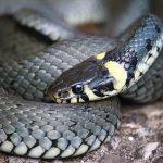 ヘビの寿命について