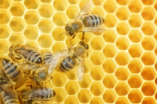 ミツバチ 寿命