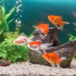 金魚…その寿命は?