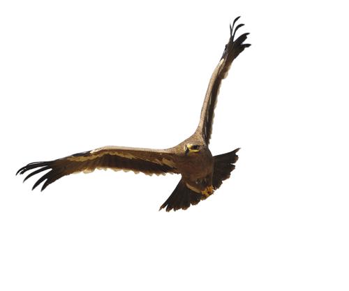 鷹 タカ 寿命