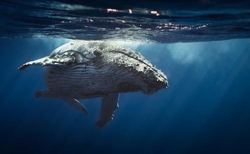 ほっきょくクジラ 寿命