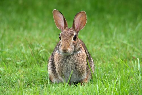 アマミノクロウサギ 寿命