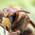 クマンバチってどれくらい生きるの?!寿命?