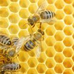 ミツバチの寿命は??