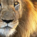 百獣の王ライオンの寿命