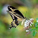 アゲハチョウはどれくらい生きるの?!その寿命は!?