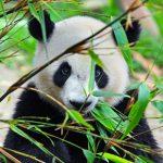 動物園の人気者のパンダの寿命は!?
