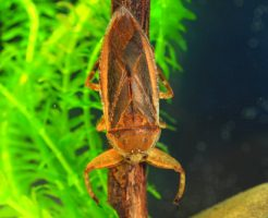 タガメ 寿命
